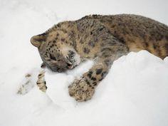 phototoartguy:    Snow Leopard Animals And Pets, Baby Animals, Funny Animals, Cute Animals, Funny Cats, Wild Animals, Funny Humor, Fun Funny, Animal Memes