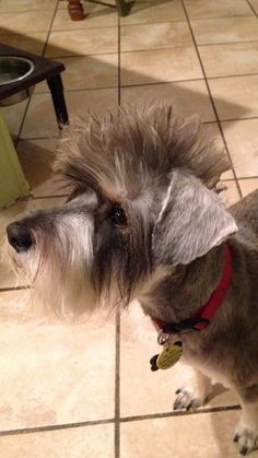 schnauzer with a mohawk