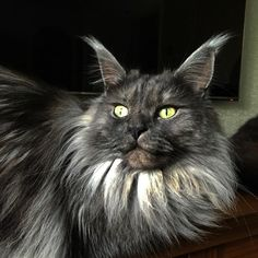 Thor black smoke Maine coon cat http://www.mainecoonguide.com/