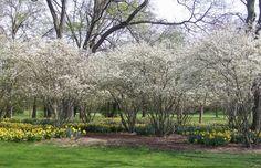 amelanchier  daffodils