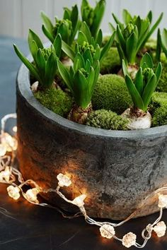 Houseplants for Better Sleep globules and greenery/twinkly lights … connect is gone, yet what a stunning motivation Christmas Plants, Christmas Flowers, Winter Christmas, Christmas Decorations, Room Decorations, Xmas, Green Christmas, Christmas Bulbs, Indoor Garden