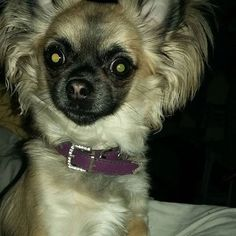#cyberchihuahua #chihuahuasrule #london #violetchihuahua #dogsofinstagram #smalldogs #longhairedchihuahua #goldsablechihuahua #EveryLittleHelps #marchmadness #marchmadness2016  Photo By: tinkerbellchihuahua  http://bit.ly/teacupdogshq
