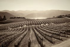 Vineyards of the Pacific NW Black And White Photo Wall, Black And White Prints, Black N White Images, Black And White Photography, Big Bottle Of Wine, Whiskey Room, Oregon Wine Country, Vintage Photography, Photography Tips