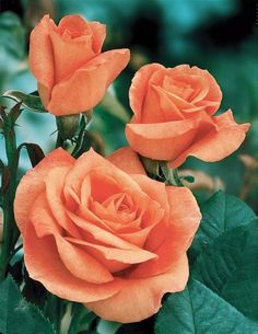 ✿⊱╮Natural elements: Tropicana climbing rose.