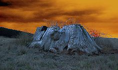 Featured Art - The Last of the Giant Eucalyptus Viminalis in Wilmot Tasmania by Sarah King Sarah King, King Art, Framed Prints, Canvas Prints, Buy Art Online, Tasmania, Art For Sale, Original Paintings, Tapestry