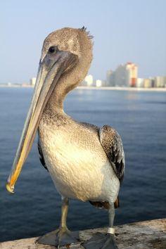 Sam (aka Samantha) the Pelican