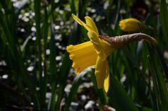 Narsissi myös | Vesan viherpiperryskuvat – puutarha kukkii