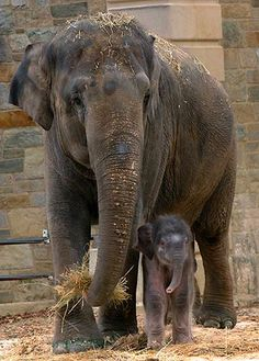 Baby elephants walk that line between cute and funny-looking so well.