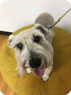 Las Vegas, NV - Schnauzer (Standard) Mix. Meet Maxie, a dog for adoption. http://www.adoptapet.com/pet/18022084-las-vegas-nevada-schnauzer-standard-mix