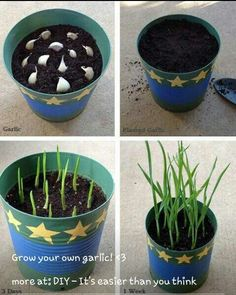 Growing Garlic from Table Scraps! – – Erika Ellis Photography Growing Garlic from Table Scraps! – Growing Garlic from Table Scraps!
