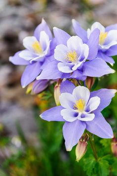 A group of pristine Columbines in the San Juan Mountain of Colorado