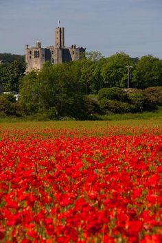 Poppy field at Warkworth Castle Northumberland UK via flickr