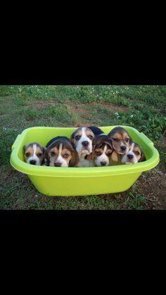 Bundles of joy #Beagle