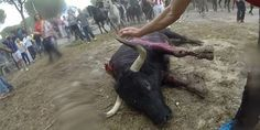 "This year animal activists in Spain have achieved a great victory: the ""Toro de la Vega"", a... (113308 signatures on petition)"