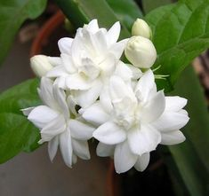 Arabian Tea Jasmine Plant Belle of India Sambac 6 Pot Gardenias, White Flowers, Beautiful Flowers, Asian Flowers, Arabian Jasmine, Jasmine Plant, Bridesmaid Favors, White Hibiscus, Gifts For Teens