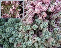 Sedum dasyphyllum burnatii minor