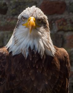 Orla, the Golden Eagle, a majestic raptor in the Bird of Prey Centre in Loch Lomond and Trossachs National Park in Balloch, Scotland. Thoughts about birds of prey in captivity.