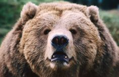 how to draw a detailed grizzly bear step by step - Google Search
