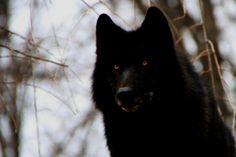 Je suis Luna Kivla, mes parents son mort en protégeant leurs meutes, … #loupgarou # Loup-garou # amreading # books # wattpad