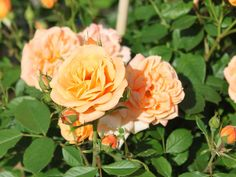 Miniature Rose 'Apricot Clementine' ® - Rosa 'Apricot Clementine' ®