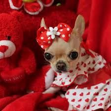 All dressed up for Valentines Day The adorable, and oh so fashionable, Chi Yum Yum. Love her!!