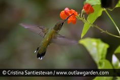 Hummingbirds can't resist the bright red flowers of 'Scarlet Emperor' runner beans.