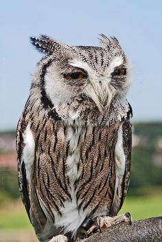 White-faced Scops Owl // Petit-duc à face blanche -