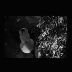 https://flic.kr/p/yKVM3u | Mayu October 2015  #cat #smallcats #blackandwhitephotography