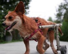 Heartless thief stole dog's wheelchair   (not the dog in photo ... click to read story) Rescue Dogs, Pet Dogs, Pets, Disabled Dog, Animal Rescue Center, Silkie Chickens, Foster Dog, Dog Information, Puppies And Kitties