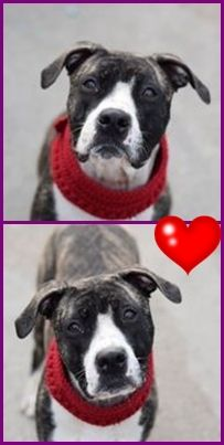 Brooklyn Center TRINITY – A1061440 ***NEW HOPE RESCUE ONLY 12/30/15*** FEMALE, BR BRINDLE / WHITE, AM PIT BULL TER MIX, 7 mos OWNER SUR – AVAILABLE, NO HOLD Reason NYCHA BAN Intake condition EXAM REQ Intake Date 12/26/2015 http://nycdogs.urgentpodr.org/trinity-a1061440/