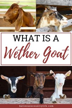 What is a wether goat? Why would you want one? Here you will find out why wether goats are great additions to any homestead. Owning wether goats will only be a benefit to you and your country life. Feeding Goats, Raising Goats, Raising Chickens, Goat Care, Sheep Farm, Goat Farming, Hobby Farms, Urban Farming, Livestock