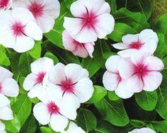 Impatiens Bright Eyes F1- SeedsPro- Inside Plants-