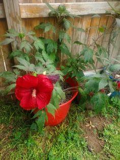 Hibiscus Midnight Marvel - Shrub | Spring Hill Nurseries Hibiscus Bush, Spring Hill Nursery, Nurseries, Shrubs, Bloom, Marvel, Purple, Babies Rooms, Child Room