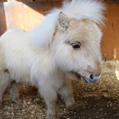 😍😍😍🐴🐴🐴🎠🎠🎠🐴🐴🐴😍😍😍Meet this 8 month old bundly of fluffy cuteness Teddy the Shetland Pony! Cute Baby Horses, Tiny Horses, Pretty Horses, Horse Love, Cute Baby Animals, Beautiful Horses, Animals Beautiful, Beautiful Cats, Miniature Ponies