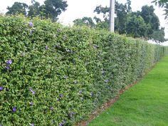 thunbergia erecta   Floricultura Campineira