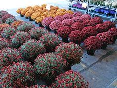 Chrysanthemums by Betsy Wuebker