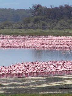 Flocks of Flamingo in Lake Nakuru, Kenya