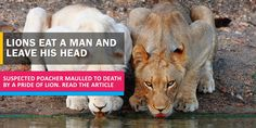 A suspected poacher was eaten alive by a pride of lions in a South African reserve park. Be sure to read the news. Lion Pride, Kruger National Park, Lions, African, Reading, News, Lion, Reading Books