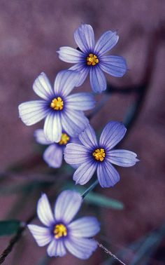 .Always a joy to find blue-eyed grass while roaming the meadows