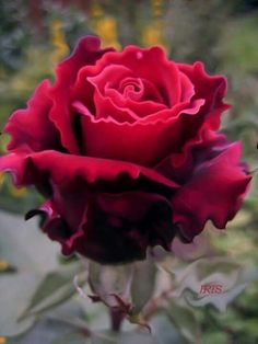david rose memorial day classic