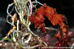 short snouted red Seahorse