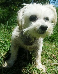 Meet Rydell BW a Petfinder adoptable Maltese Dog | Providence, RI | Adoption donation $199AGE: 9 years old WEIGHT: 10 poundsUp to date on all vaccinations and has been...