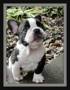 Cutest Frenchy Bully