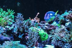 An amazing year old reef aquarium at Aquatic Warehouse using our Ecoxotic Cannons. Led Aquarium Lighting, Glass Aquarium, Marine Aquarium, Reef Aquarium, Marine Tank, Coral Tank, Mystic Topaz, Sea World, Amphibians