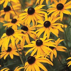 2.5 qt. Black Eyed Susan Goldstrum (Rudbeckia), Live Perennial Plant, Yellow and Black Flowers W/Green Foliage (1-Pack)