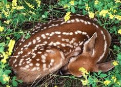 2 fawns - Google Search