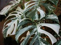 Variegated Split-leaf Philodendron (Monstera deliciosa 'Albo Variegata')