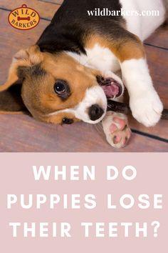 When Do Puppies Lose Their Teeth? Teeth Development and Puppy Teething Puppy Teething, Puppy Biting, Can You Help, Dog Teeth, Dog Recipes, Dog Training Tips, Dog Care, Chloe, Corgi