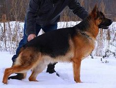 http://mittelwest.com/for-sale/puppies-for-sale/current-litters. #Mittelwest #GermanShepherd
