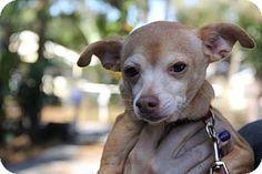 tampa, FL - Chihuahua Mix. Meet Laya, a dog for adoption. http://www.adoptapet.com/pet/14871525-tampa-florida-chihuahua-mix